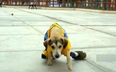 Golpean y roban silla de ruedas a perrito inválido en Perú